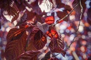 Maroon Leaves (Photo)