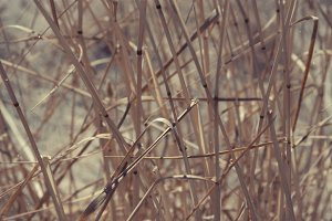 Dry Brown Grass (Photo)