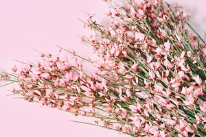 Pink broom flowers