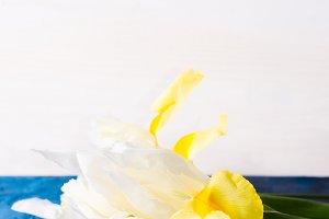 White and yellow iris on blue