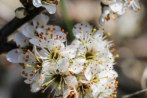 Prunus spinosa. Blackthorn