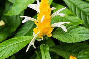 Brilliant Yellow Golden Shrimp Plant