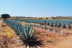 lanscape tequila
