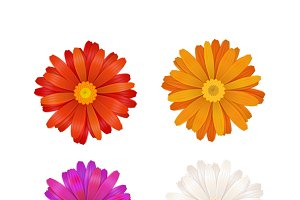 Colorful gerbera flowers on white