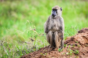 Baboon monkey in African bush.