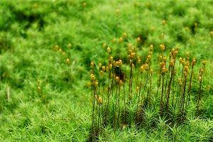 Brophyte Moss Pods