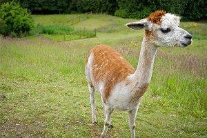 Spotted Llama