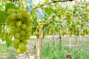 Green grapes farm