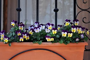 planter with garden pansy