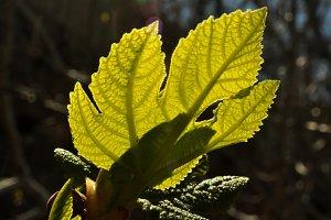 fig leaf backlit