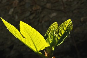 fig leaves backlit