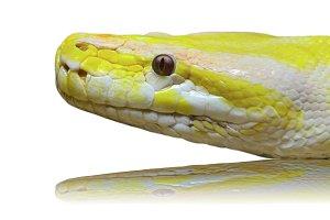 Head albino python