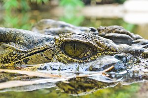 Eye of crocodiles