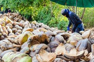 Farmer cutting coconut shell