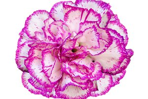 Carnation on white background