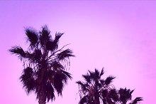 California Pink Sunset Palm