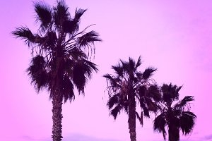 California Pink Sunset Palm