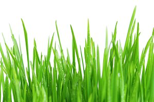 Green fresh grass on white