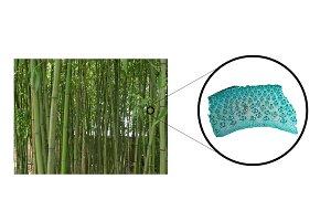 Bamboo stem micrograph