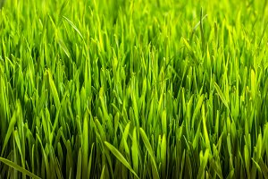 Green wheat sprouts
