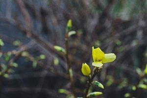 tiny forsythia bloom