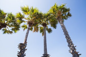 sugar palm a row by the sea.