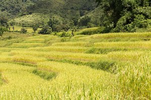Rice farm on the mountain