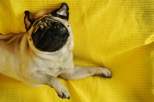 Funny pug dog lying