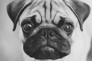 Back and white pug portrait