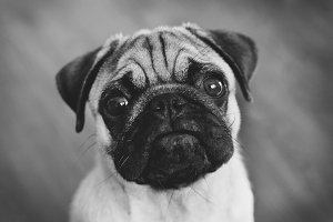 Back and white sad pug