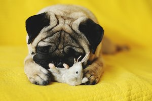 Cute pug with toy
