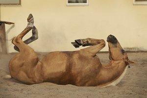 Palomino horse wallowing
