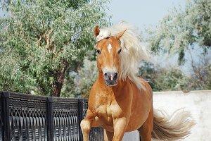 Palomino horse running