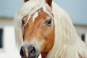 Palomino horse portrait