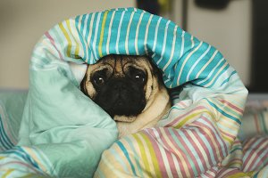 Sleepy sad pug in bed