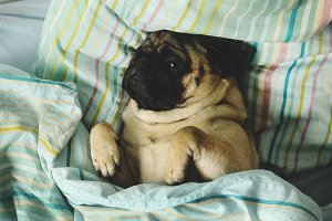 Sleepy pug lying in bed