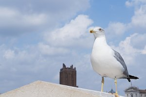 Inspirational Image of European Gull