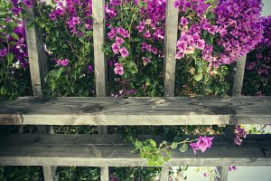 Purple Bougainvillea 1 (Photo)