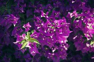 Purple Bougainvillea 2 (Photo)