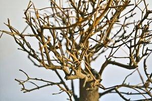 Close up dry bonsai tree