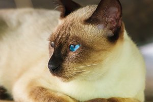 Thai cat with blue eyes