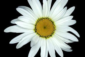 White daisy flower macro isolated