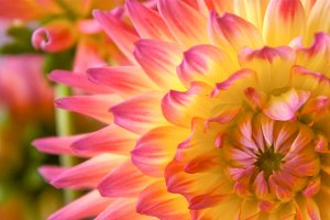 Pink and Yellow Dahlia 2