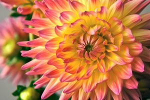 Pink and Yellow Dahlia 1