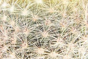 Cactus thorns macro