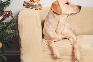 Labrador retriever sitting on sofa at Christmas