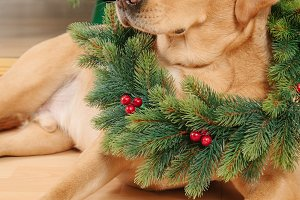 Labrador retriever dog with Christmas wreath