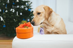 Labrador retriever dog looking at Christmas gift