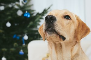 Labrador with Christmas tree