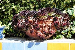succulents plants pot